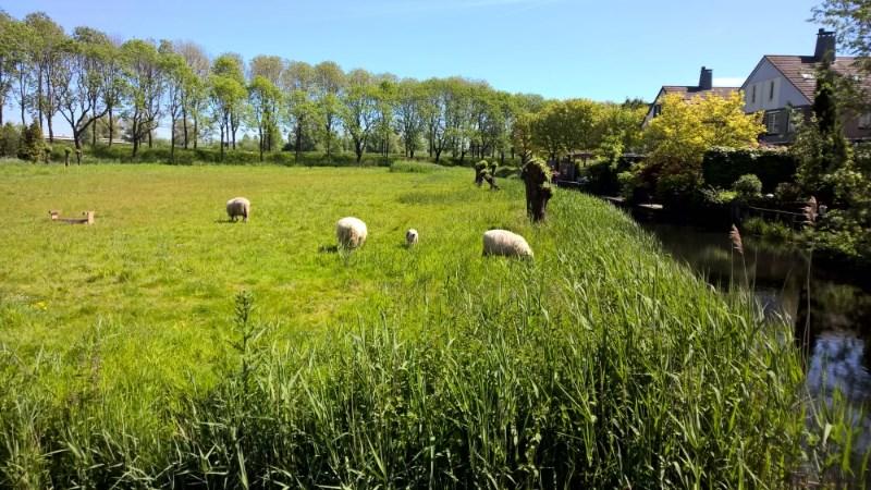 schapenwei