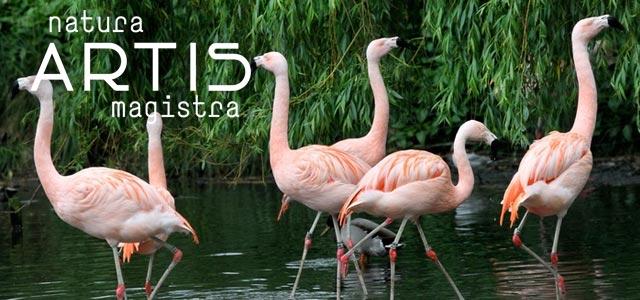 artis-flamingos