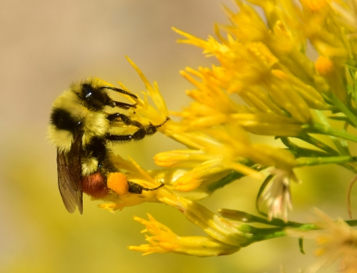 Hummende hommels en dansende bijen