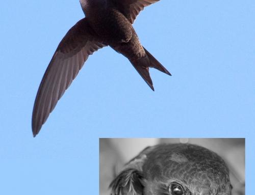 Gillende en chillende gierzwaluwen